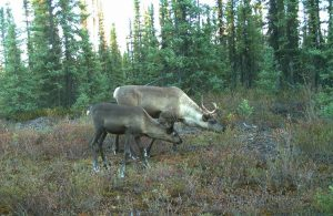 Declining caribou population victim of ecological chain reaction