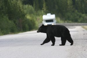 UBCO researchers identify best strategy to reduce human-bear conflict